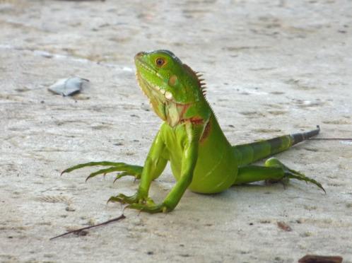 a Young Iguana