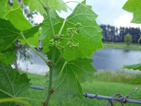 b Baby Grapes