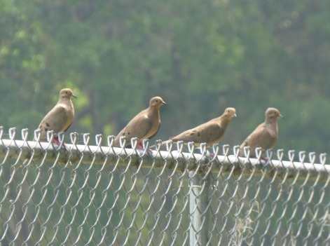 b Doves on Fence
