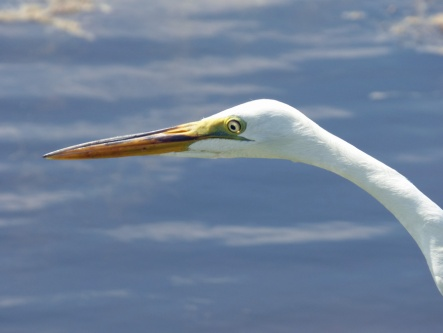 b Great White Egret Profile