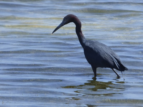 b Little Blue Heron