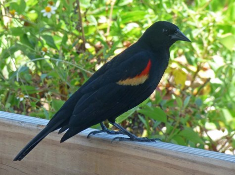 b Red Winged Black Bird