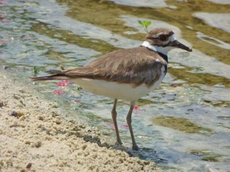 b Shore Bird