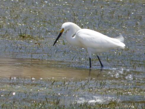 b Snowy Egret
