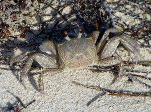 f Brown Crab