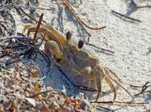 f Crab with Dark Eyes
