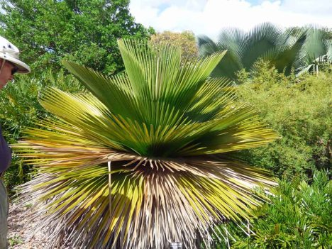 f Cuban Petticoat Palm