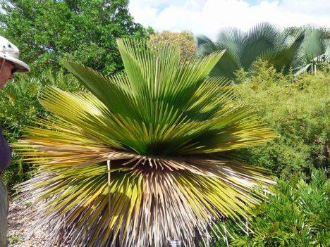 f Cuban Petticoat Palm