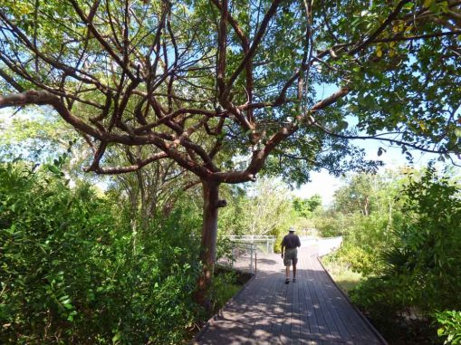 f Gumbo Limbo Branches