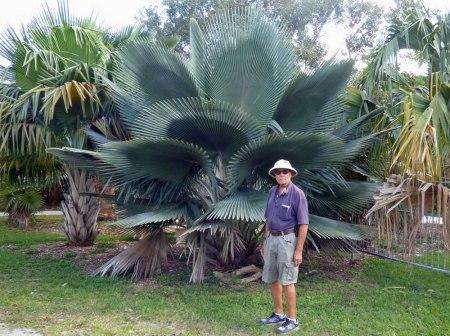 f Large Leaf Palm