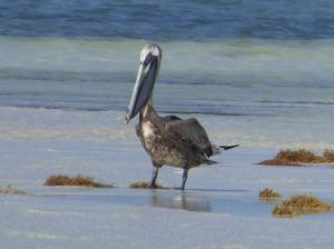 f Pelican on Sandbar