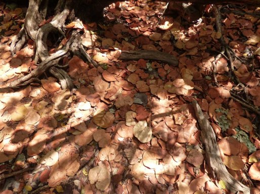 f Seagrape Leaf Carpet