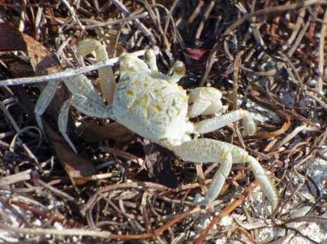 f White and Yellow Crab