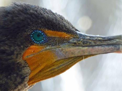 s Cormorant