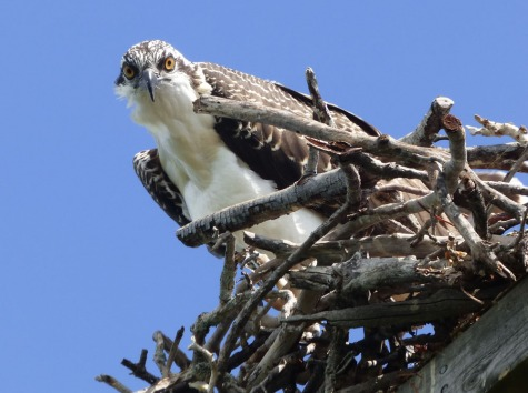 s Osprey Watching Me