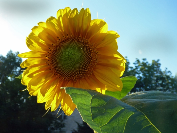 b Sunflower in Sun Shine
