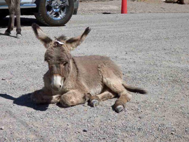 b Baby Burro Main Street Oatman AZ