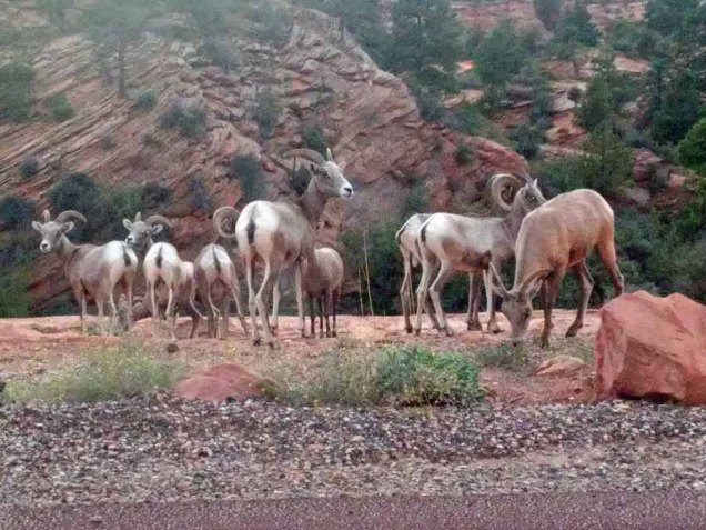 b Big Horn Sheep Herd