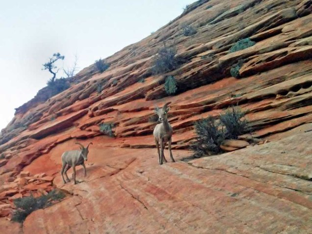b Big Horn Sheep Pair