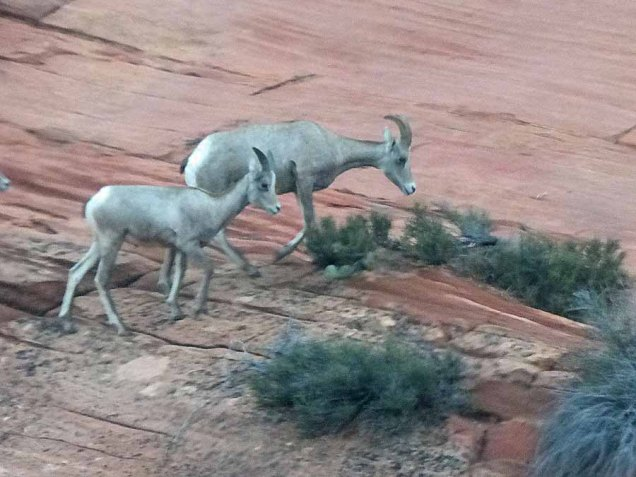 b Big Horn Sheep