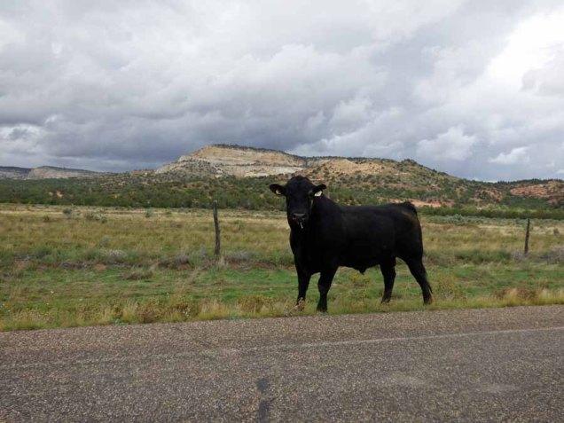 b Bull in Johnson Canyon