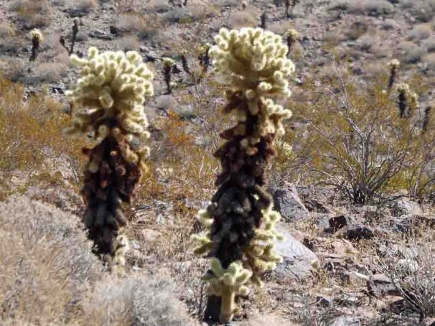 b Cholla Cactus