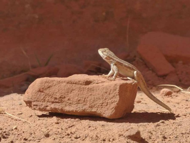 b Lizard Posing on Rock