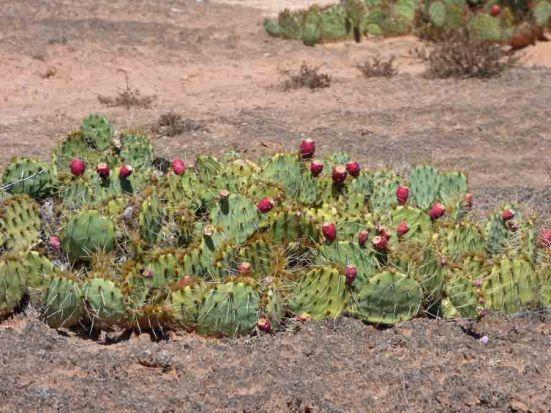 b Prickly Pear Cactus