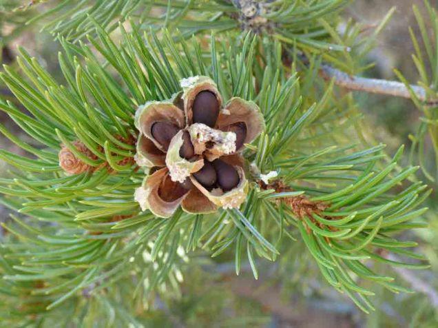 b05 Pine Nuts