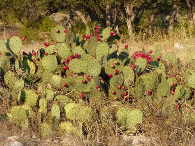 b13 Prickly Pear Cactus