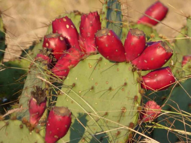 b14 Prickly Pears