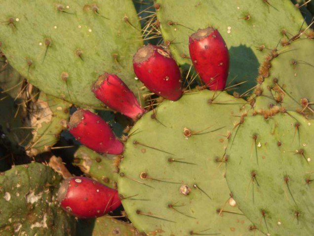 b15 Prickly Pears 2