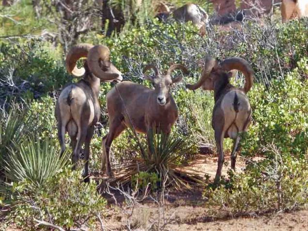 b23 Big Horn Sheep