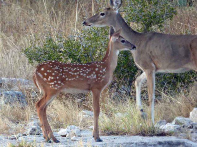 b8 Baby and Mama Deer