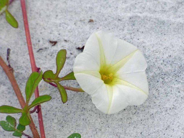 b Beach Morning Glory or Railroad Vine