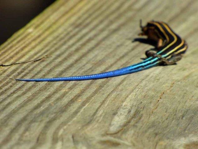 b Blue Skink Tail