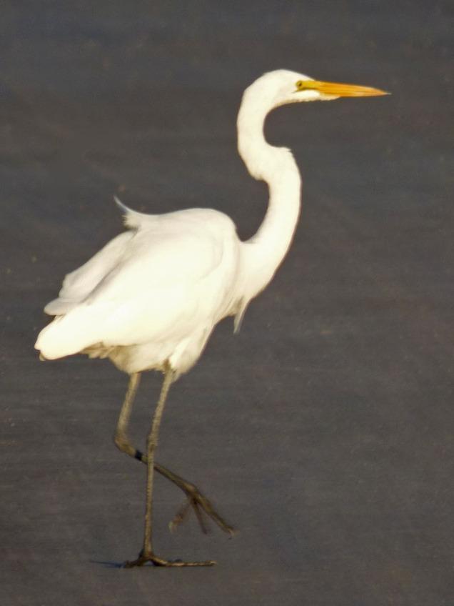 b Egret on Asphalt