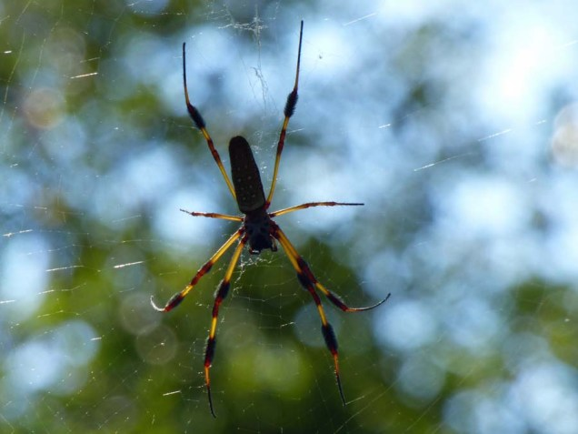 b Golden Orb Weaver