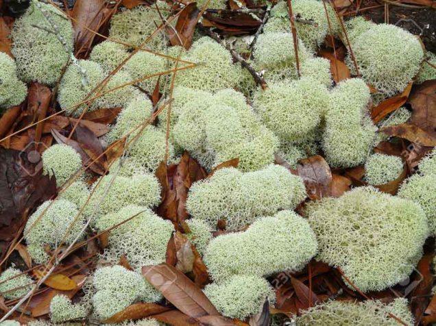 b Lichen - Reindeer Moss