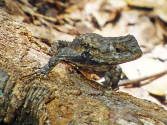 b Lizard