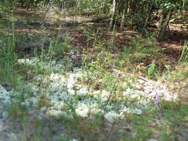 b Reindeer Moss (Lichen)
