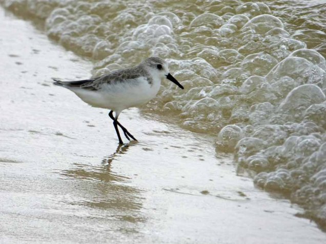 b Sand Piper and Bubbles