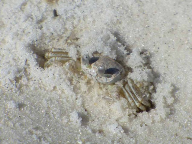 b Small Crab in Sand