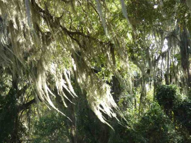 b Sunshine on Spanish Moss