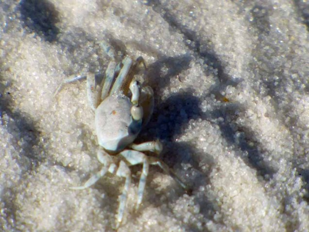 b Tiny White Crab
