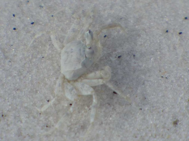 b White Crab 1