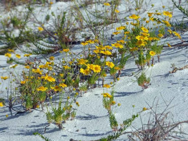 b Yellow Flowers on Dune