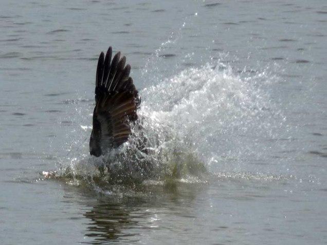 b03 Pelican Wing