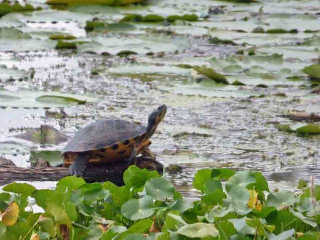 b04 Turtle