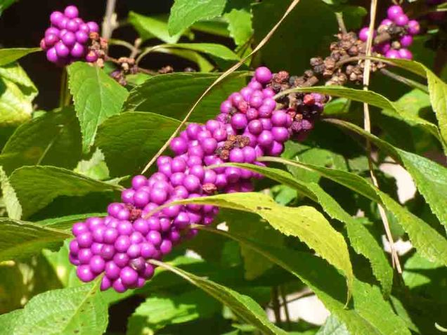 b06 Beautyberries